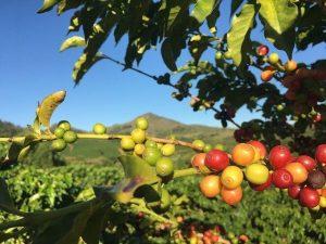 caféier en bocal ou dans le jardin