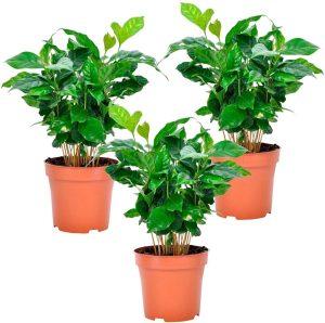 caféier achat, caféier d'arabie, plantes grimpantes qui grandissent bien